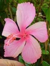 Dainty Pink Hibiscus, La France Hibiscus