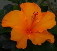 Single Orange Tropical Hibiscus, Hibiscus rosa-sinensis 'Single Orange'