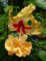 Sport of Sports Hibiscus, Yellow El Capitolio Hibiscus, Poodle Hibiscus