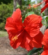 Double Red Tropical Hibiscus, Chinese Hibiscus, China Rose, Hawaiian Hibiscus, Shoe Flower, Shoe Black Plant
