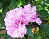 Triple Lavender Althea, Rose of Sharon, Hibiscus syriacus 'Triple Lavender'