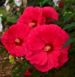 Summer In Paradise Perennial Hibiscus, Hardy Hibiscus, Hibiscus x 'Summer In Paradise'