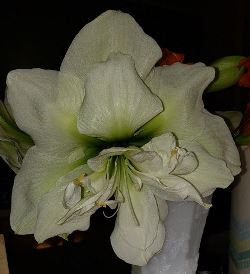 Marilyn Amaryllis (Double White)