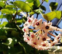 Krinkle 8 Common Hoya, Porcelain Flower, Waxflower