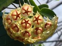 White Papau Wax Plant, Archbold's Hoya