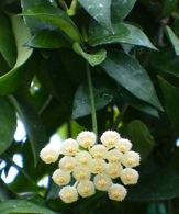 Fragrant Wax Flower, Hoya, Porcelain Flower, Hoya lacunosa