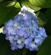 Eva Lyon Holmes Hydrangea (Repeat Flowering, Mophead)