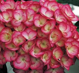 Firefly Big Leaf Hydrangea (Bi-Color, Semi-Double Mophead), French Mophead Hydrangea