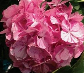 Sweet Fantasy Big Leaf Hydrangea (Bi-Color Mophead), French Mophead Hydrangea, Hydrangea macrophylla 'Dancing Angel'