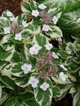 Mariesii's Variegated Big Leaf Hydrangea (Lacecap)