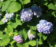 Penny Mac Big Leaf Hydrangea (Repeat Flowering, Mophead)