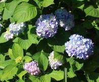 Penny Mac Big Leaf Hydrangea (Repeat Flowering, Mophead)