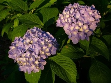 All Summer Beauty Big Leaf Hydrangea (Mophead), French Hydrangea, Hydrangea macrophylla 'All Summer Beauty'