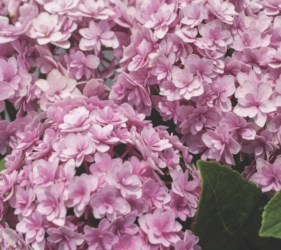 Double Down® Hydrangea Bigleaf Hydrangea (Double Mophead, Repeat Flowering), French Mophead Hydrangea