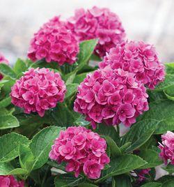 Ruby Blossom Bigleaf Hydrangea (Double Mophead, Repeat Flowering), French Mophead Hydrangea