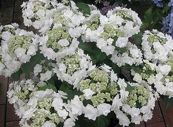 Double Delights™ Wedding Gown Big Leaf Hydrangea (Double Lacecap), French Mophead Hydrangea, Hydrangea macrophylla 'Dancing Snow'