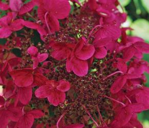 Fire and Ice Panicle Hydrangea, Hydrangea paniculata 'Wims Red'