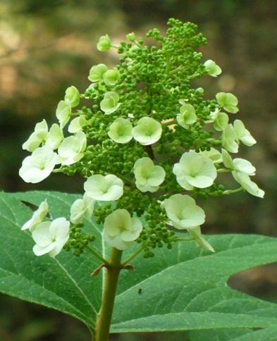 Oakleaf Hydrangea (Seedlings)