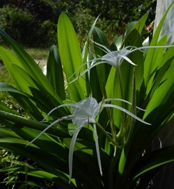 Tropical Giant Spider Lily