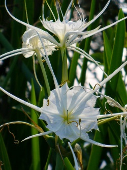 Spring Marsh Spiderlily, Louisiana Marsh Spiderlily, Texan Spiderlily, Shinner's Spiderlily