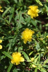 Creels Gold Star Hypericum, Bushy St. John's Wort