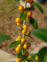 Anna's Choice Yaupon Holly (Yellow Berried)