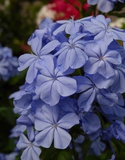 Imperial Blue Plumbago, Cape Leadwort