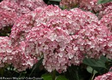 Incrediball® Blush Smooth Hydrangea