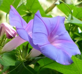 Ocean-Blue Morning Glory, Blue Morning Glory, Blue Dawnflower, Island Morning Glory