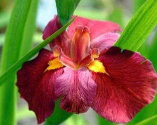 Ann Chowning Louisiana Iris (Red, Yellow Signals, Early Season)
