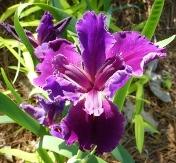 Kevin Matthews Louisiana Iris (Indigo-Blue, Early to Midseason)