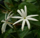 Angel Wing Jasmine, Shining Jasmine, Star Jasmine