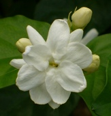 Sambac Jasmine, Arabian Jasmine, Mogra, Sampaguita, Pikake, Hawaiian Peacock Jasmine