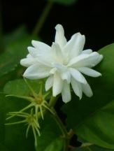 Sambac Jasmine, Arabian Jasmine, Sampaguita, Pikake, Hawaiian Peacock Jasmine