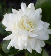 Grand Duke Supreme Sambac Jasmine, Arabian Jasmine, Pikake