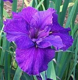 Jeri Louisiana Iris (Purple, Early-Midseason)