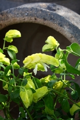 Yellow Queen Shrimp Plant, Chartreuse Shrimp Plant, Shrimp Bush, False Hope