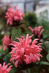 Thelma's Pink Justicia, Thelma's Pink Brazilian Plume