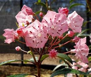At Last Mountain Laurel, Kalmia, Calico Bush, Spoonwood, Bush Ivy (Southern Genotype)