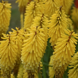 Gold Rush Kniphofia, Tritoma, Torch Lily, Red Hot Poker