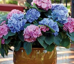 L.A. Dreamin'® Big Leaf Hydrangea (Mophead), French Mophead Hydrangea