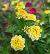 Buttercream Mounding Lantana