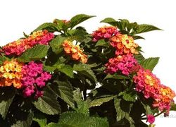 Anne Marie Lantana (Mounding, Yellow and Dark Pink)