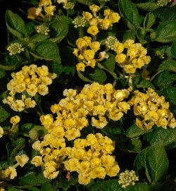 Bandana® Yellow Lantana