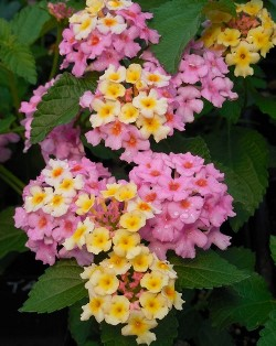 Chapel Hill Miss Tara™ Lantana (mounding, yellow-orange-pink)