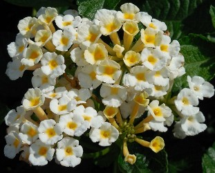 Chapel Hill Sunnyside Up Lantana (mounding, white-yellow eye)
