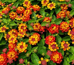 Hot Blooded™ Red Lantana, Lantana camara 'Hot Blooded Red'