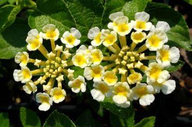 Luscious® Royale Pina Colada Lantana (Dwarf White, Mounding)