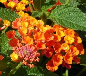 Radiation Lantana (mound to bush, red)