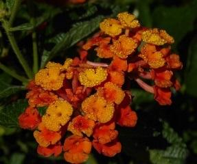 Spreading Sunset Lantana (Orange overtones, Trailing to Mounding)